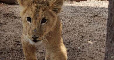 Recibe cachorro de león UMA del parque Tangamanga